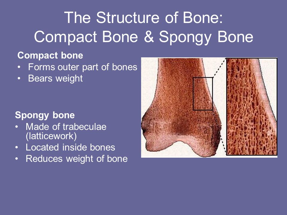 The Structure of Bone: Compact Bone & Spongy Bone