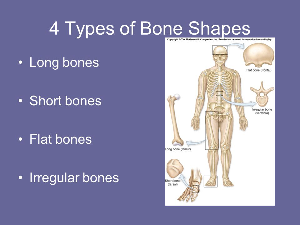 4 Types of Bone Shapes Long bones Short bones Flat bones