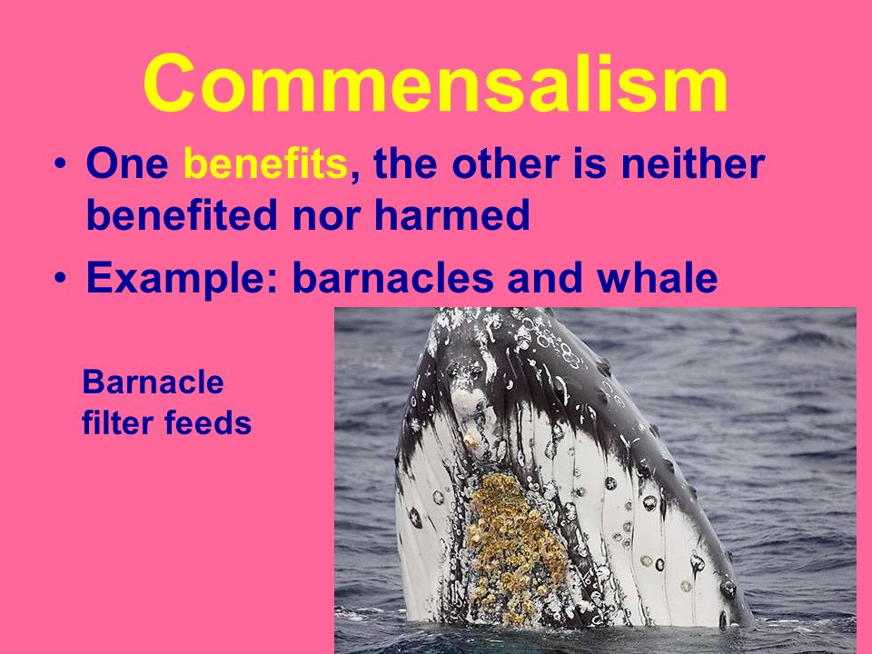 Commensalism One benefits, the other is neither benefited nor harmed