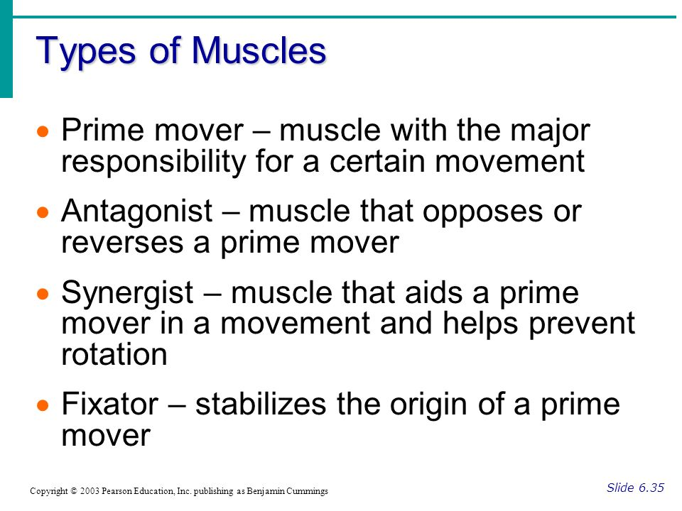 Types of Muscles Prime mover – muscle with the major responsibility for a certain movement.