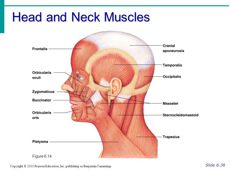 Head and Neck Muscles Figure 6.14 Slide 6.38
