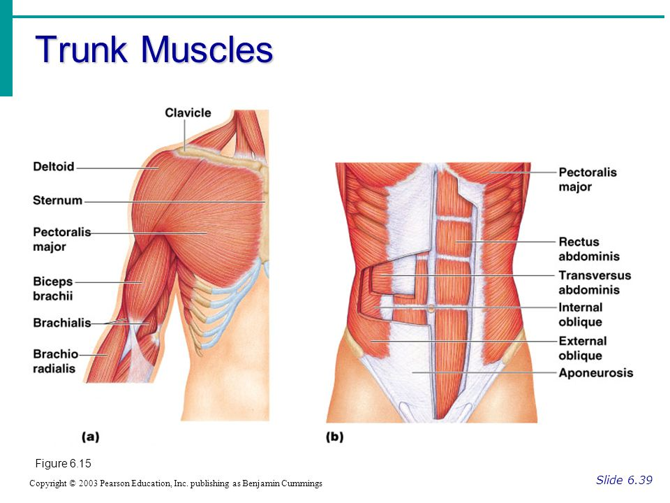 Trunk Muscles Figure 6.15 Slide 6.39