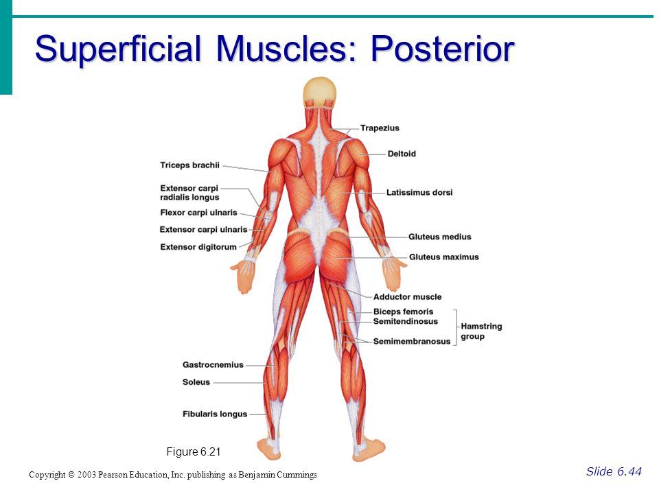 Muscle worksheets for anatomy