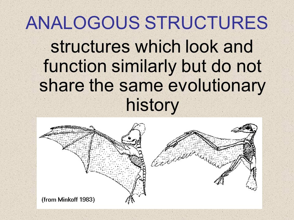 ANALOGOUS STRUCTURES structures which look and function similarly but do not share the same evolutionary history.