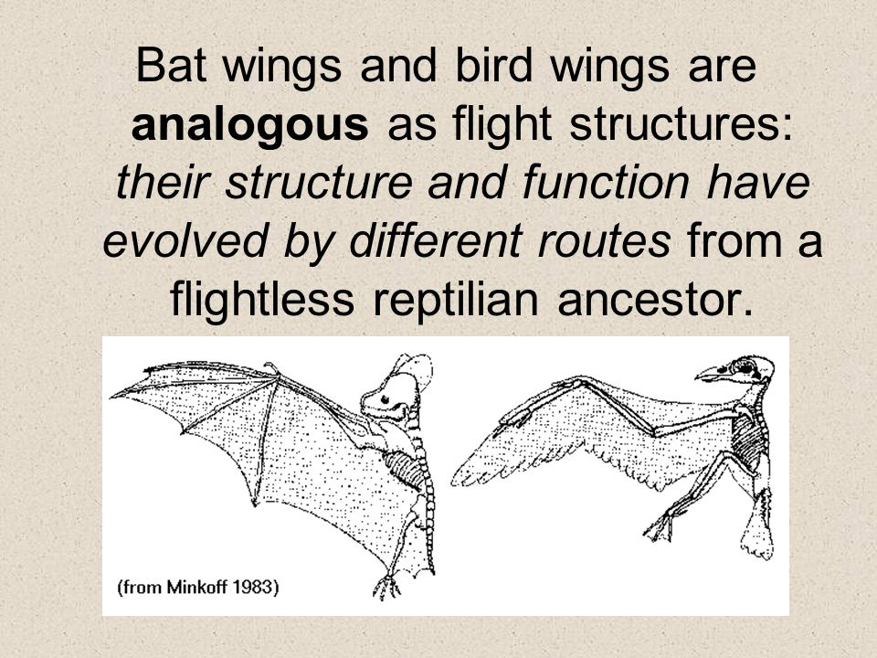 Bat wings and bird wings are analogous as flight structures: their structure and function have evolved by different routes from a flightless reptilian ancestor.