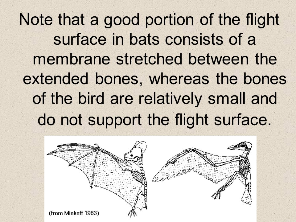 Note that a good portion of the flight surface in bats consists of a membrane stretched between the extended bones, whereas the bones of the bird are relatively small and do not support the flight surface.