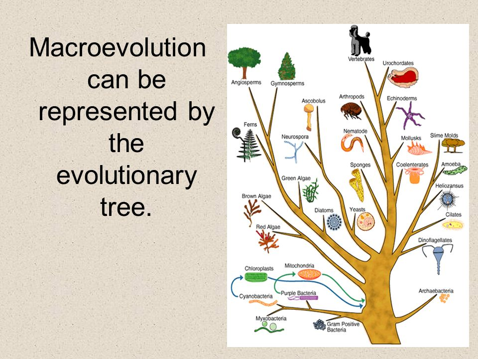 Macroevolution can be represented by the evolutionary tree.