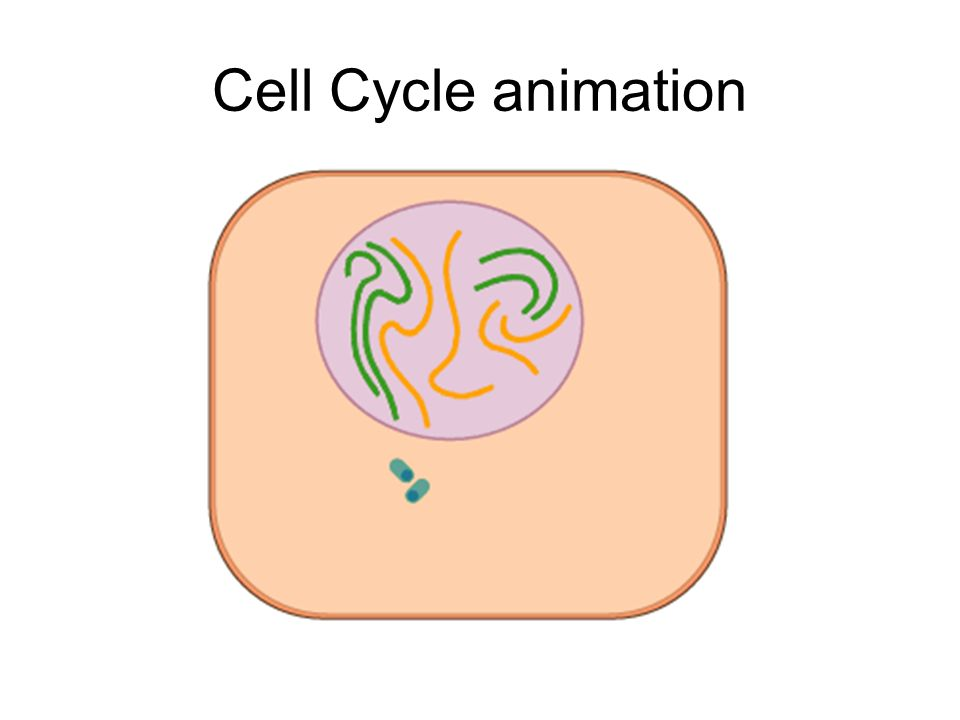 Cell Cycle animation