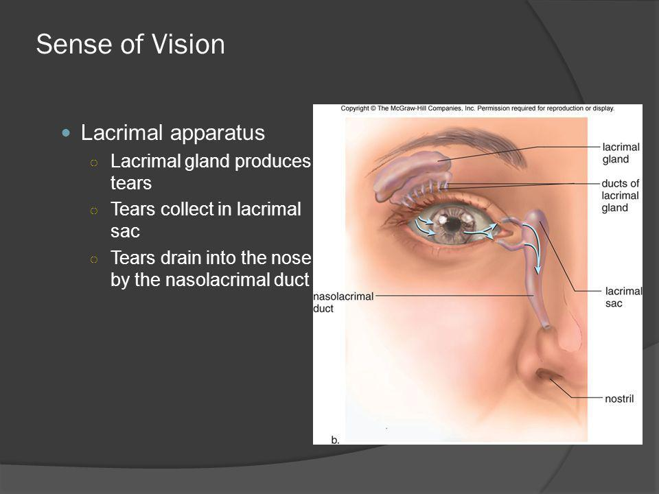 Sense of Vision Lacrimal apparatus Lacrimal gland produces tears