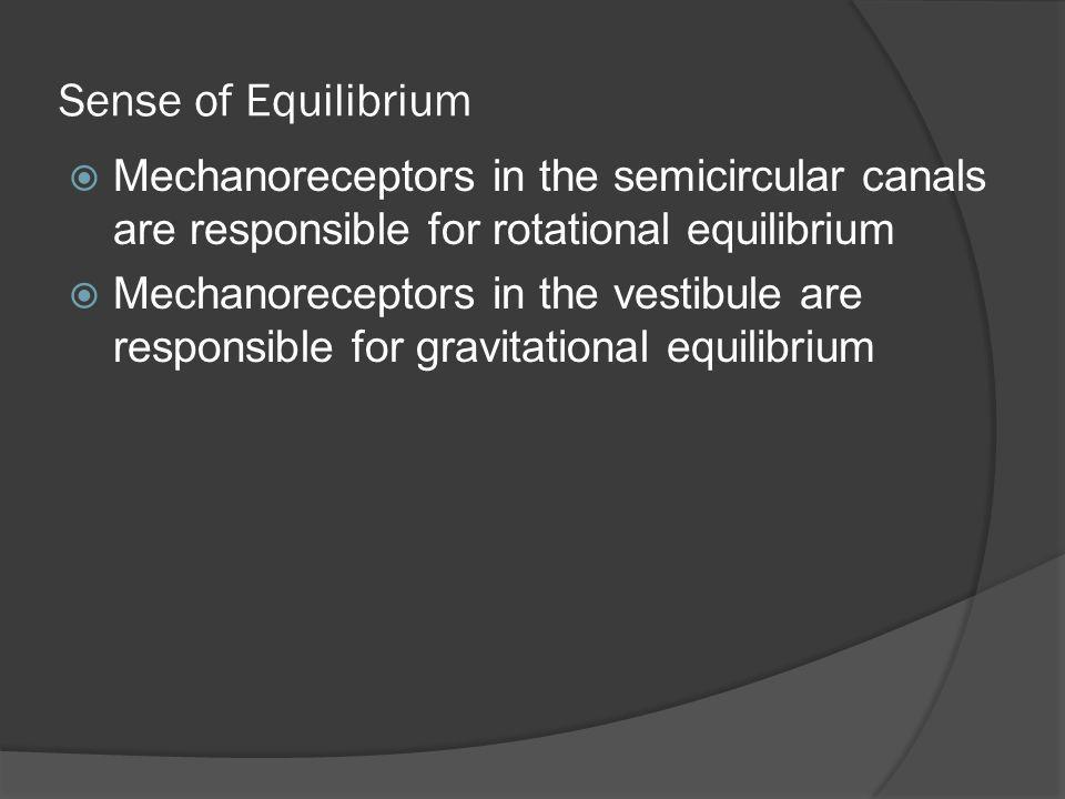 Sense of Equilibrium Mechanoreceptors in the semicircular canals are responsible for rotational equilibrium.