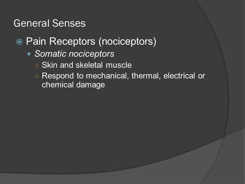General Senses Pain Receptors (nociceptors) Somatic nociceptors