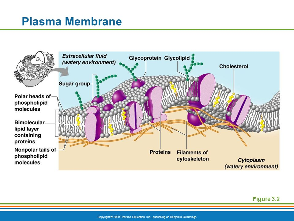 Plasma Membrane Figure 3.2