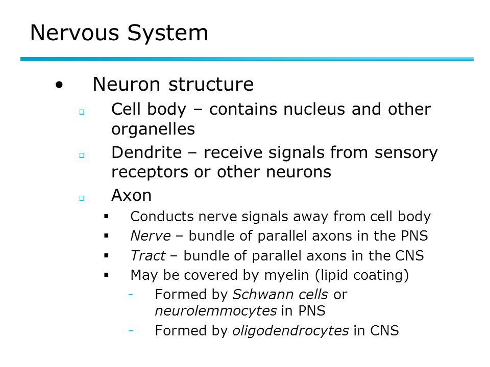 Nervous System Neuron structure