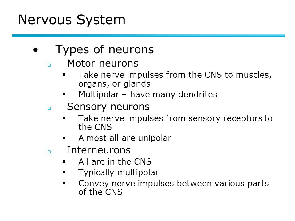 Nervous System Types of neurons Motor neurons Sensory neurons