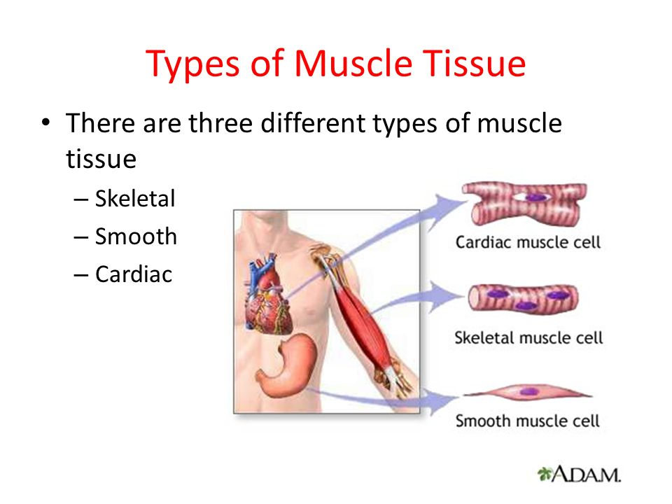 the muscular system. - ppt download, Muscles