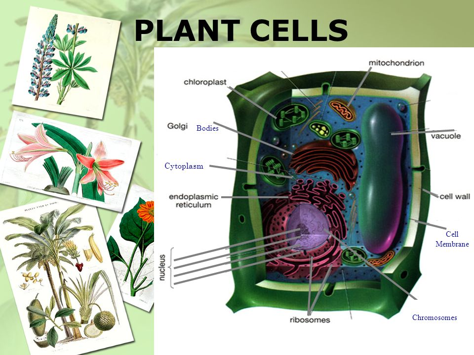 PLANT CELLS Bodies Cytoplasm Cell Membrane Chromosomes