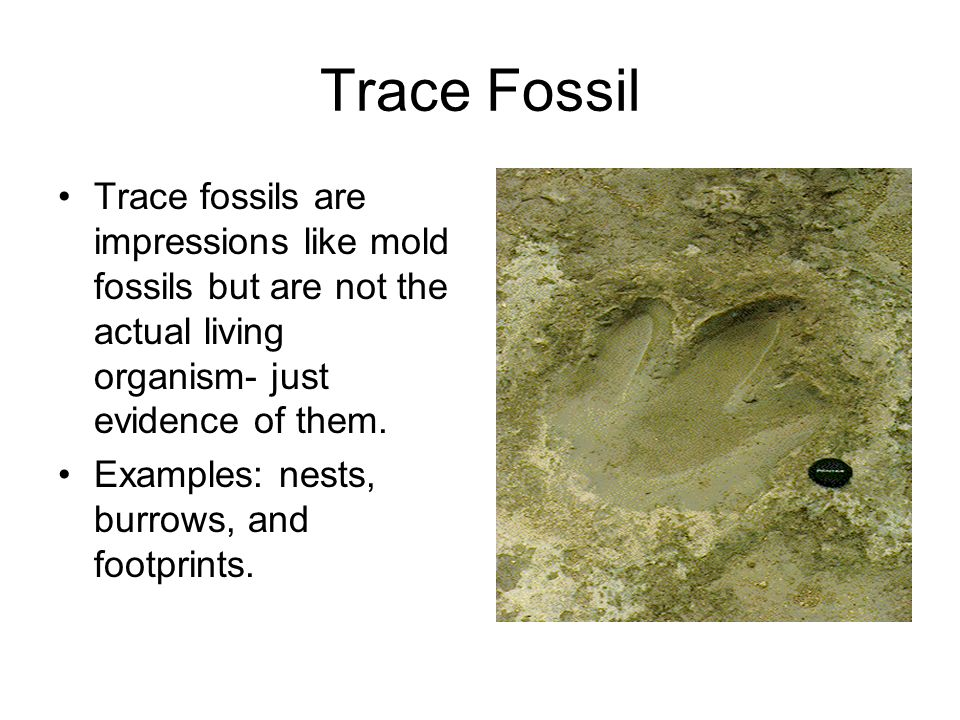 Trace Fossil Trace fossils are impressions like mold fossils but are not the actual living organism- just evidence of them.