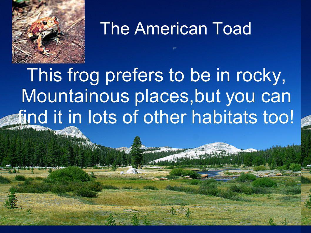 The American Toad This frog prefers to be in rocky, Mountainous places,but you can find it in lots of other habitats too!