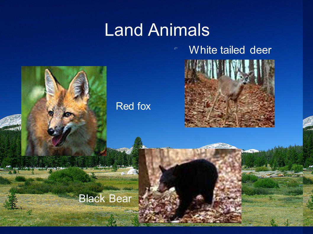 Land Animals White tailed deer Red fox Black Bear