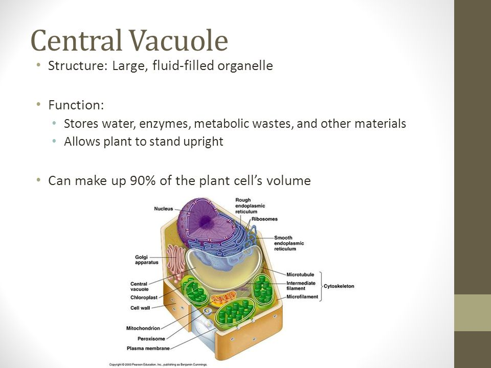 Plant vs. Animal Cell. - ppt video online download