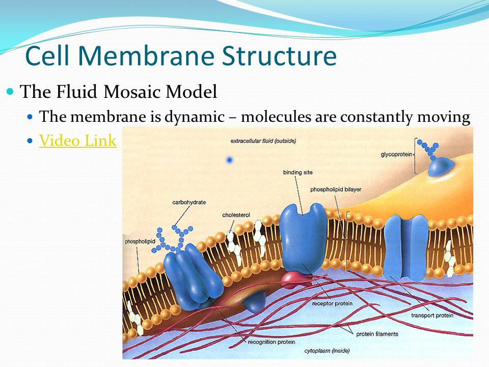 the structure and function of cell membranes essay