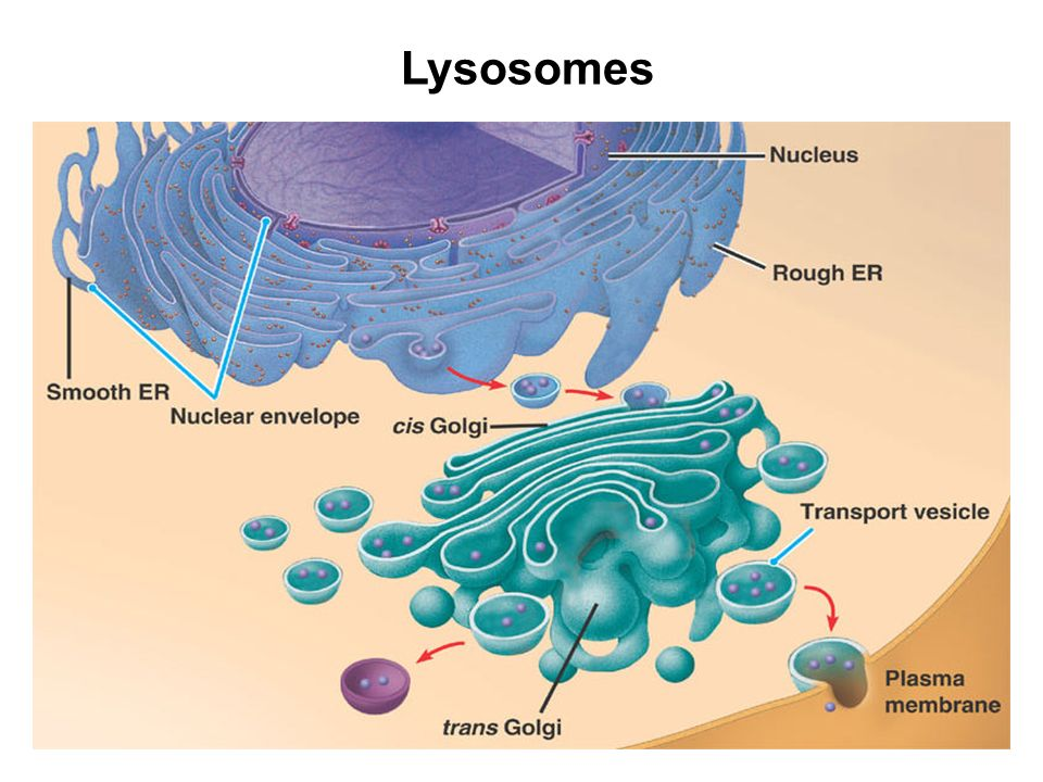 Lysosomes in animal cell