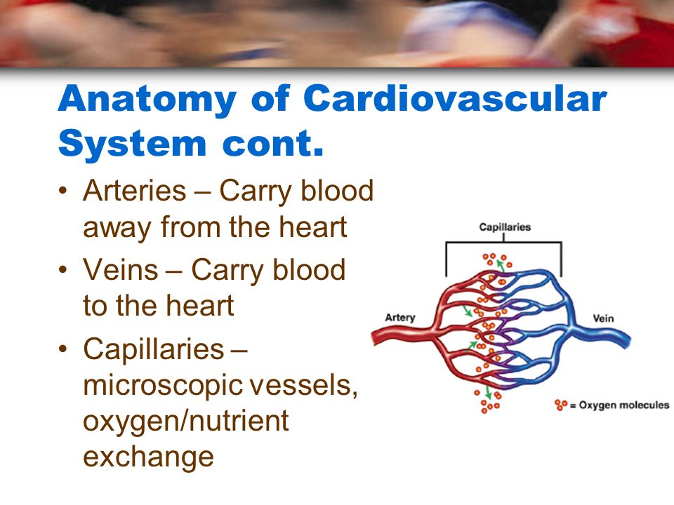 Anatomy of Cardiovascular System cont.