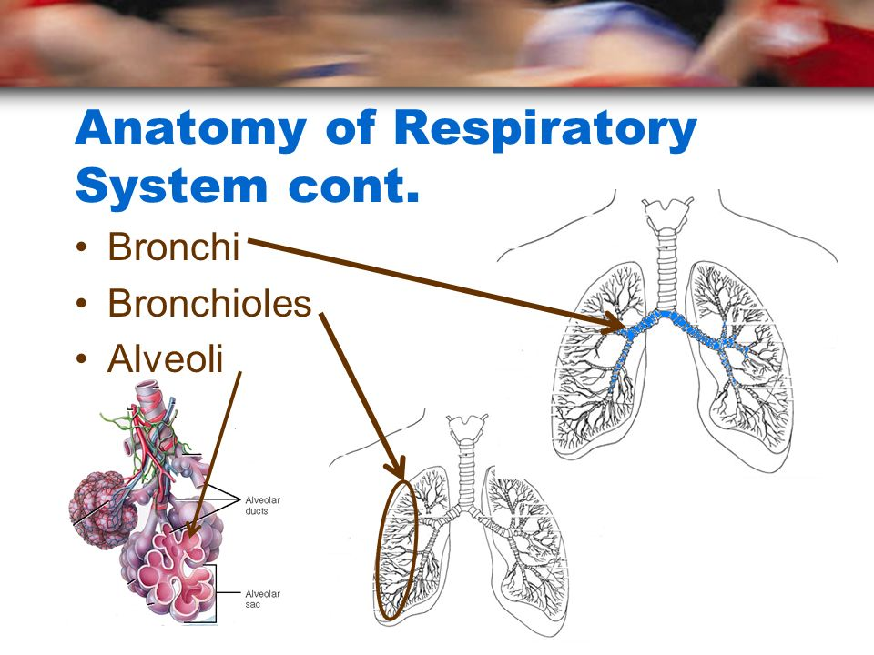 Anatomy of Respiratory System cont.