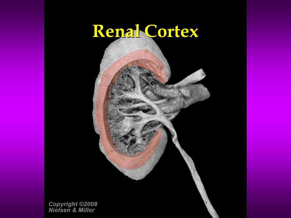 Renal Cortex