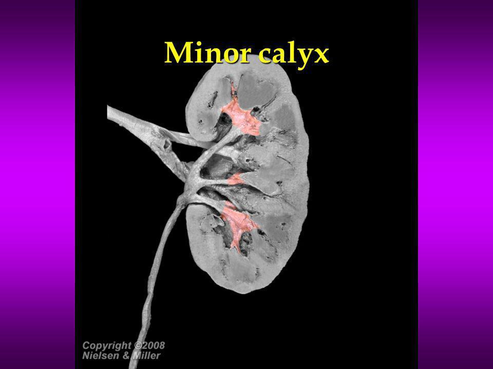 Minor calyx