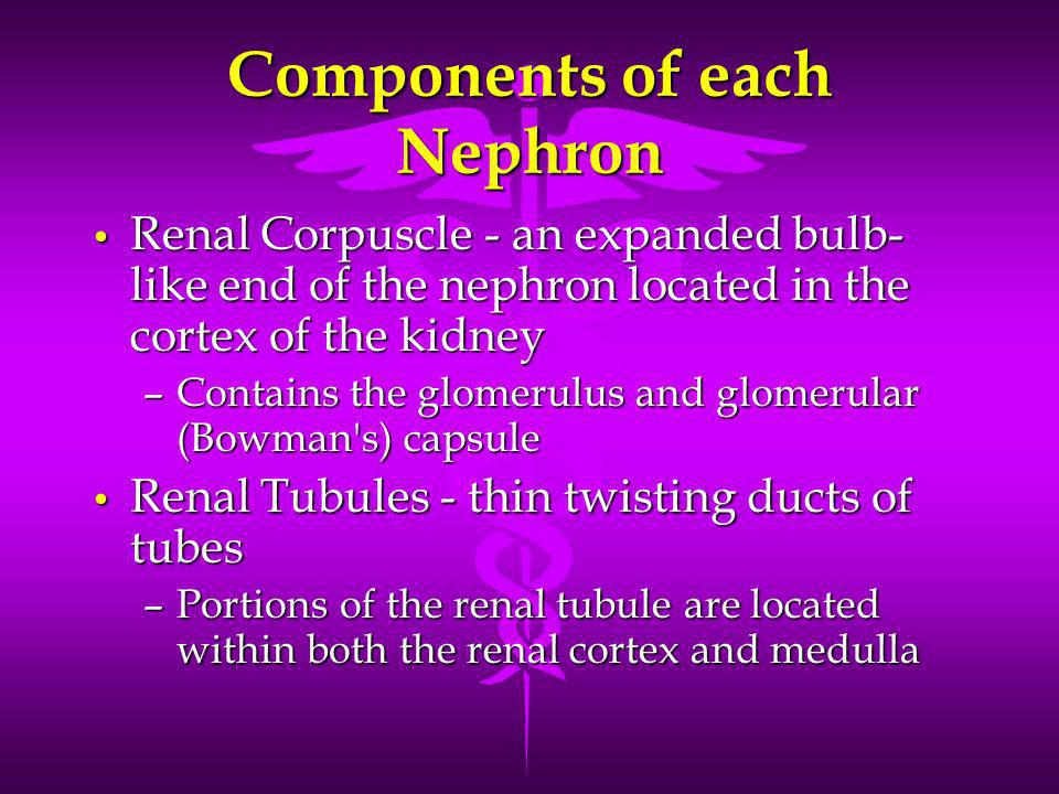 Components of each Nephron