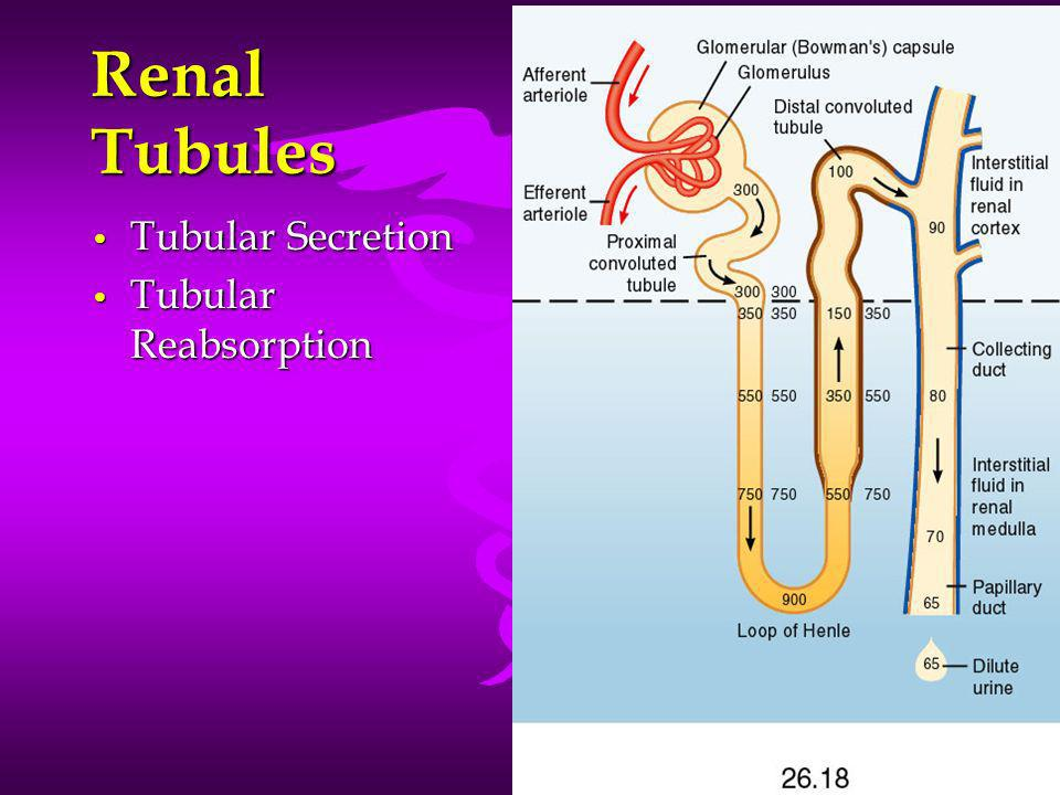 Renal Tubules Tubular Secretion Tubular Reabsorption