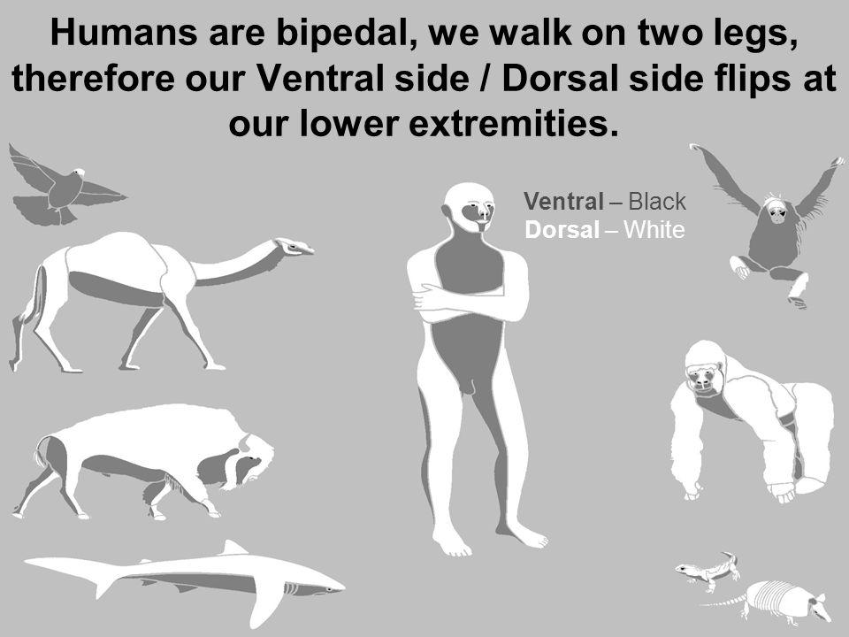 Ventral – Black Dorsal – White