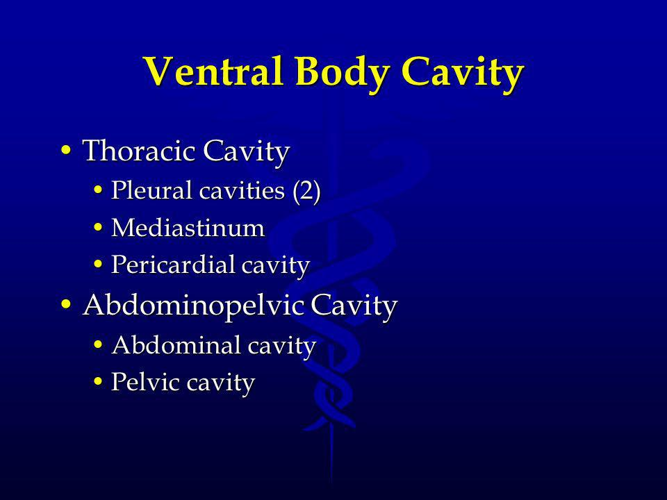 Ventral Body Cavity Thoracic Cavity Abdominopelvic Cavity