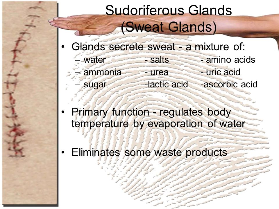 Sudoriferous Glands (Sweat Glands)