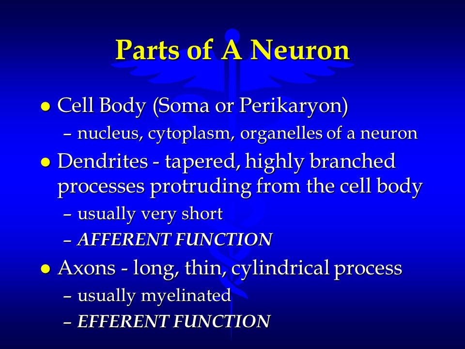 Parts of A Neuron Cell Body (Soma or Perikaryon)