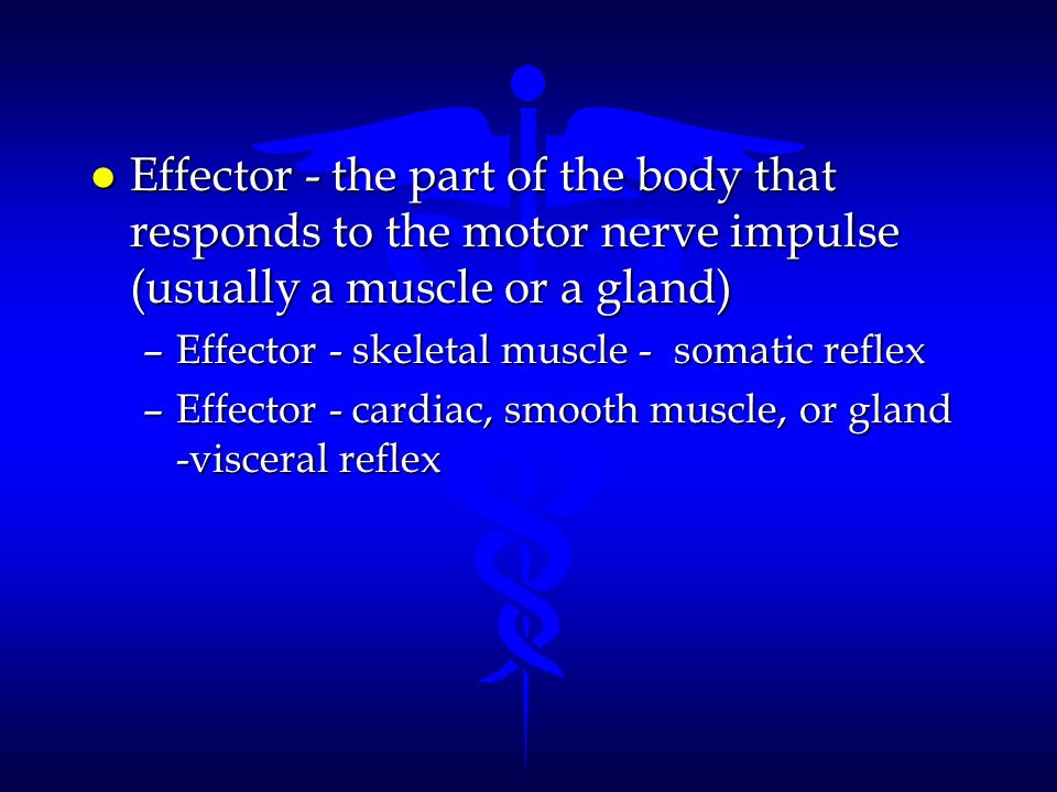 Effector - the part of the body that responds to the motor nerve impulse (usually a muscle or a gland)