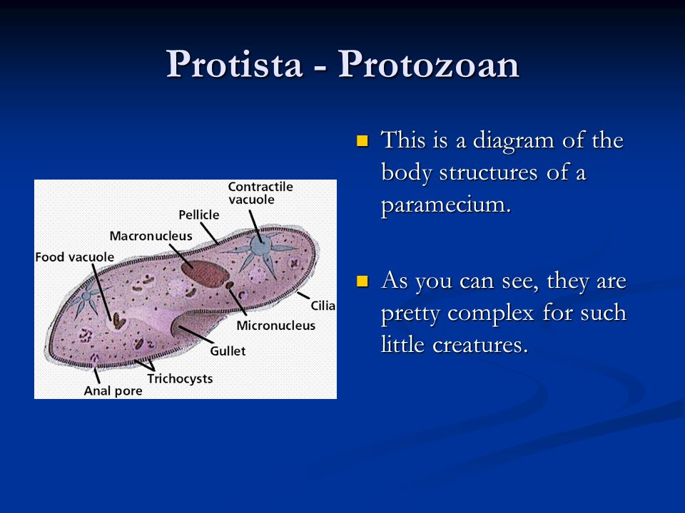 Protista - Protozoan This is a diagram of the body structures of a paramecium.