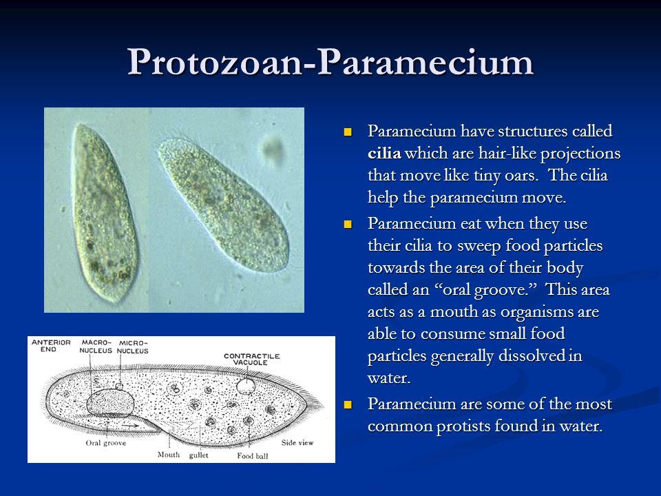 Protozoan-Paramecium