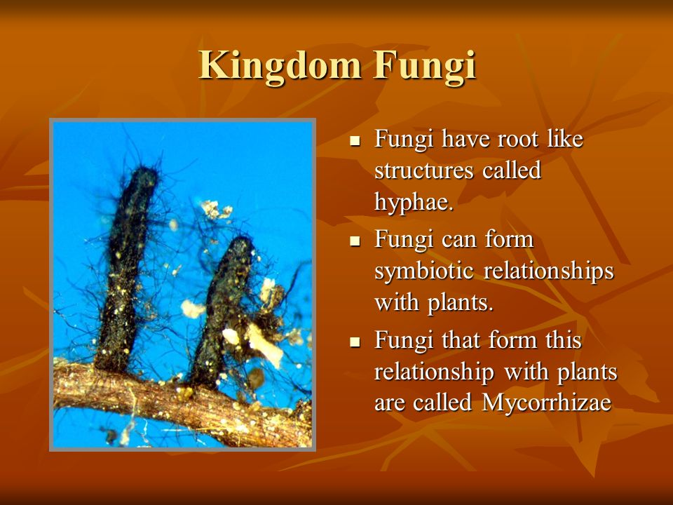 Kingdom Fungi Fungi have root like structures called hyphae.