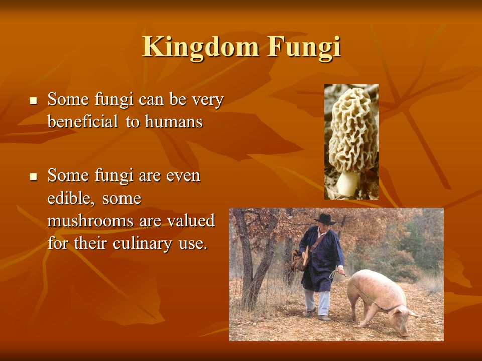 Kingdom Fungi Some fungi can be very beneficial to humans