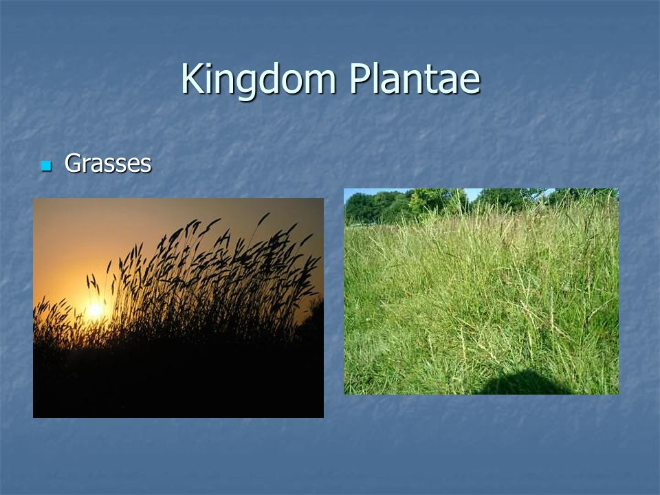Kingdom Plantae Grasses