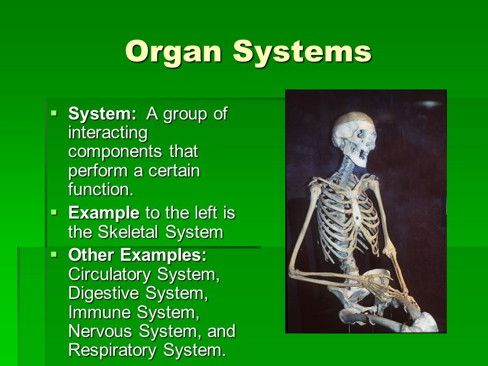 Organ Systems System: A group of interacting components that perform a certain function. Example to the left is the Skeletal System.