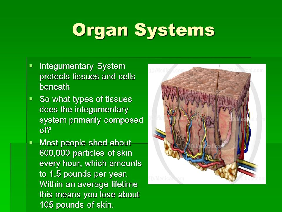 Organ Systems Integumentary System protects tissues and cells beneath