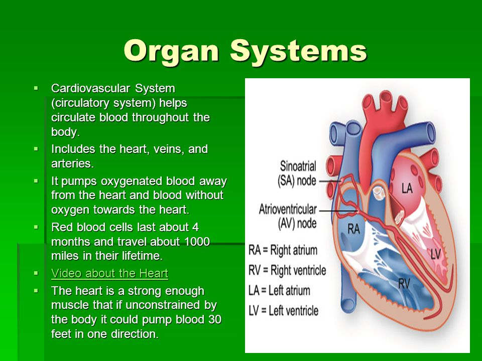 Organ Systems Cardiovascular System (circulatory system) helps circulate blood throughout the body.