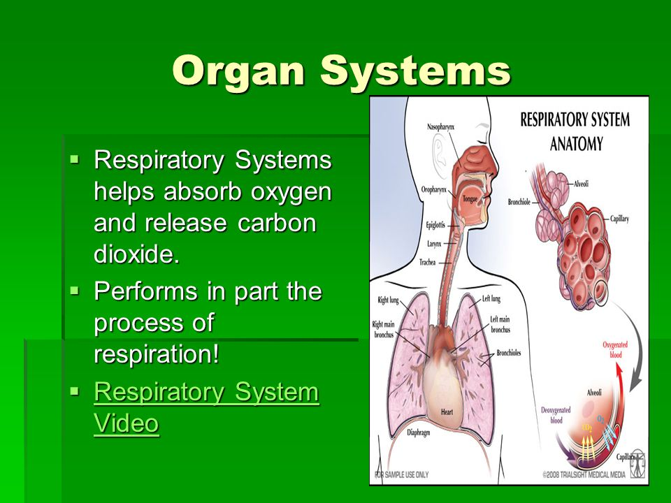 Organ Systems Respiratory Systems helps absorb oxygen and release carbon dioxide. Performs in part the process of respiration!