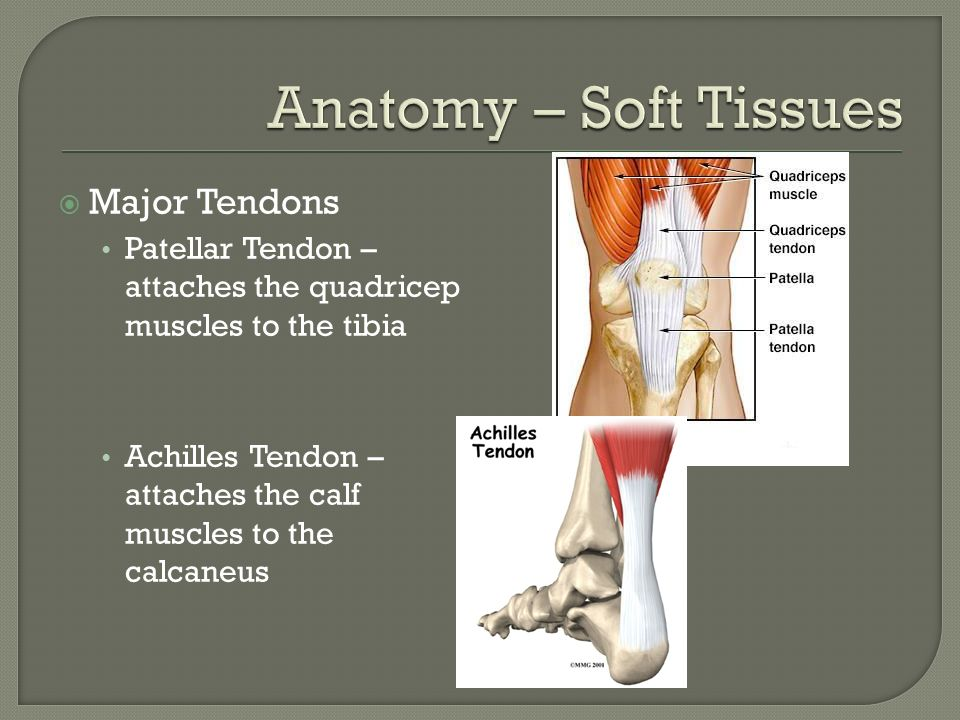Anatomy – Soft Tissues Major Tendons
