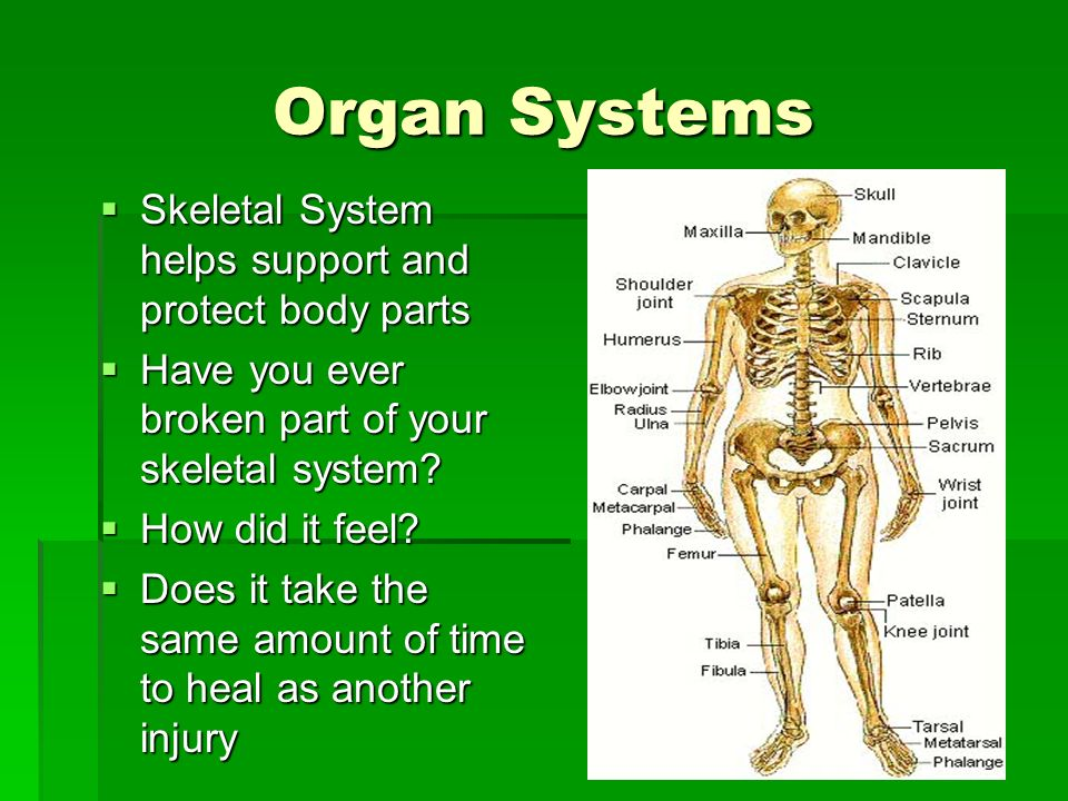 Organ Systems Skeletal System helps support and protect body parts