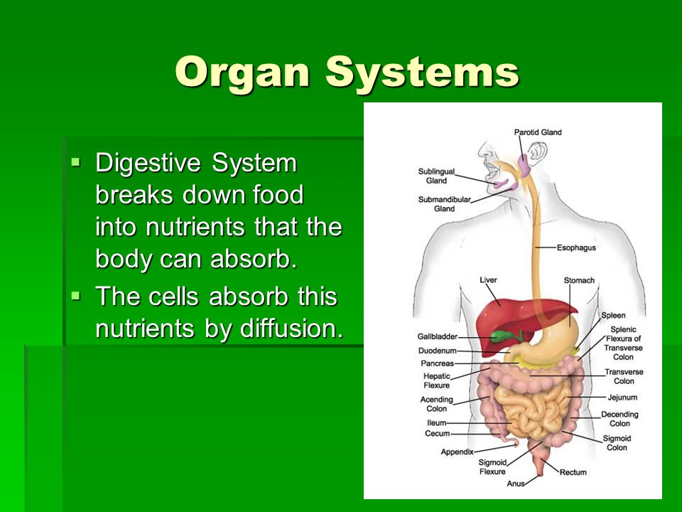 Organ Systems Digestive System breaks down food into nutrients that the body can absorb.