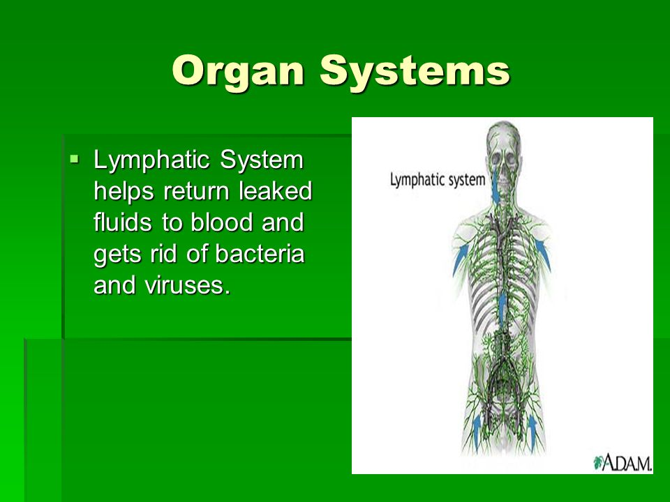 Organ Systems Lymphatic System helps return leaked fluids to blood and gets rid of bacteria and viruses.